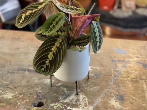 Prayer Plant Grey Pot Black Stand