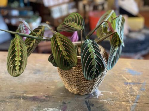 Prayer Plant Wicker/Ceramic Pot