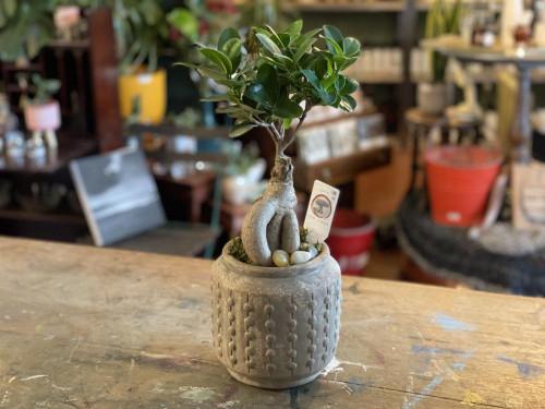 Ficus Ginseng Bonsai Mottled Pot