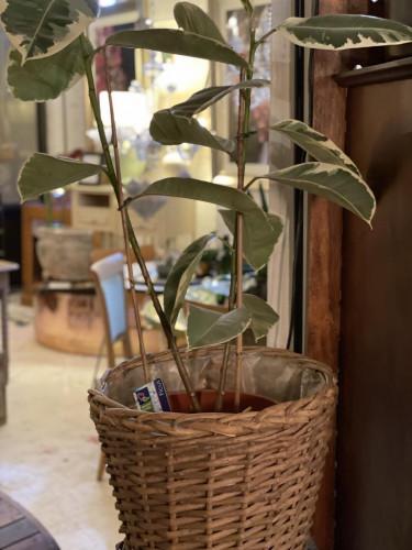 Large Rubber Plant Vintage Wicker Basket