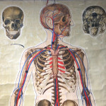An anatomical poster of the skeleton and major blood vessels signed J. Teck, circa 1940