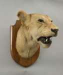 Vintage Taxidermy, Lioness Head