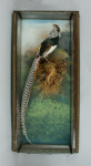 George Bazeley Taxidermy, Mounted Pheasant