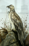 Vintage Taxidermy, Mounted Bearded Vulture