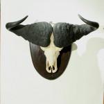 Cape Buffalo Horns