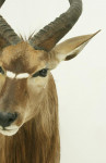Prepared Nyala by Hunters & Collectors