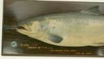 Salmon Trophy Fish Model, Spey