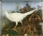 Rowland Ward Albino Pheasant