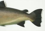 Wooden Salmon Fish Model