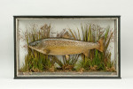Taxidermy, Cased Trout