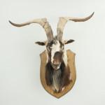 Mountain Goat Head on Oak Shield