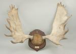 Moose Antlers on Shield