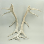 Large Weathered Antlers