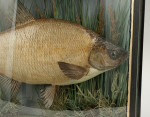 Taxidermy Fish in Bowfronted Case, Bream.